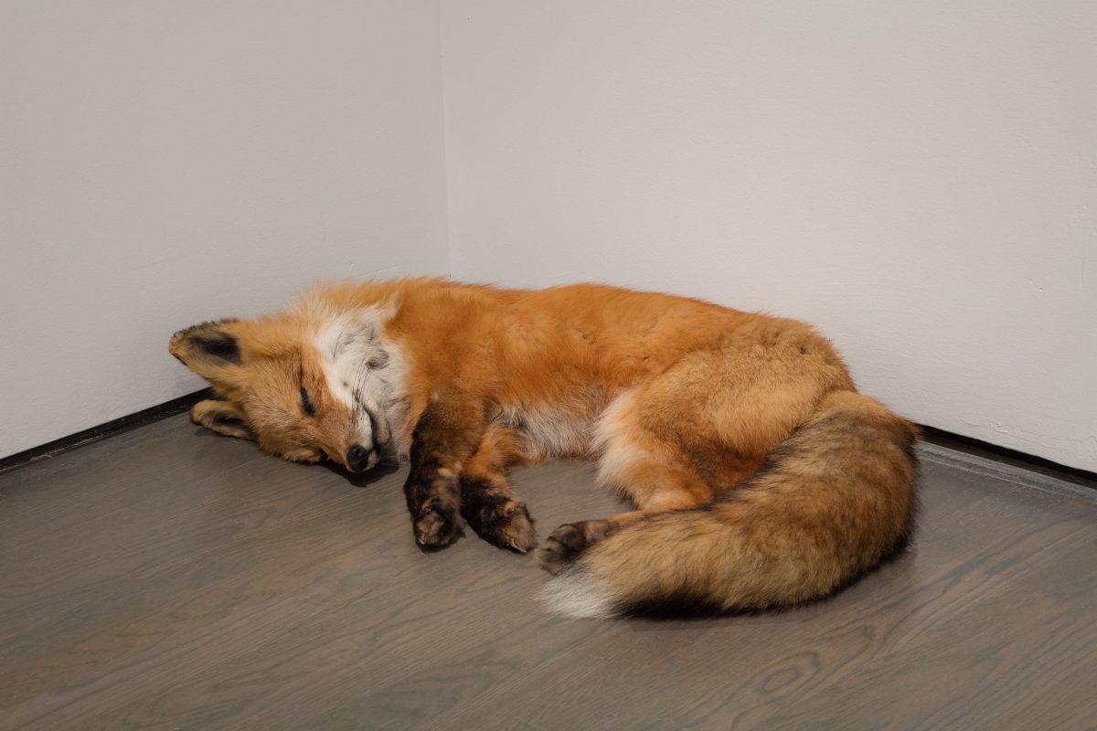 détail de Fatigues, 2014, Abbas Akhavan, Animaux naturalisés, 3 éléments (cerf de Virginie, renard roux d'Amérique, porc-épic d'Amérique du Nord).
